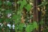 Rispen einer abgestorbenen männlichen Hopfenpflanze